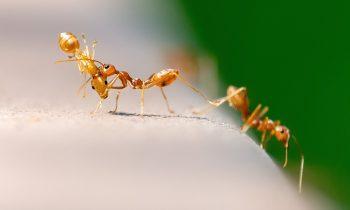 Karıncalar Nasıl Yaşar | Yaşam Şekilleri