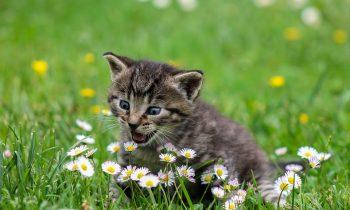 Kediler Neden Garip Davranır?